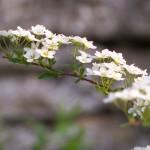 white flower branch