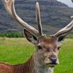 scottish deer by wikipedia.org